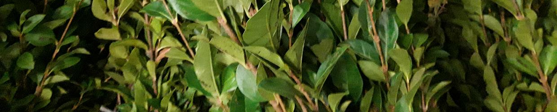 Bosplantsoen