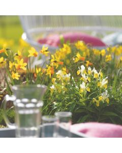 Dwarf Bulbs for Borders and Bowls