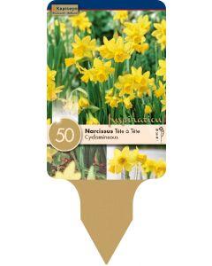 Narcissus Tête à Tête x50