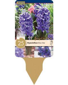 Hyacinthus Blue Star x25