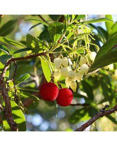 Aardbeiboom op stam