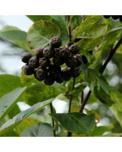Zwarte appelbes