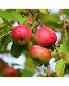 Appelboom zuilvorm