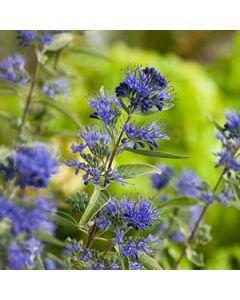 Blauwbaard