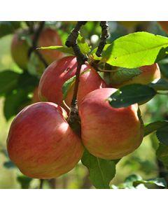 Appelboom op stam