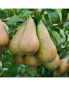 Perenboom op stam