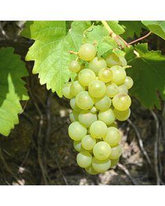 Witte druif