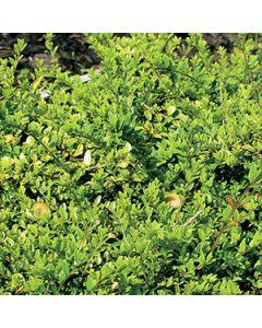 Chinese struikkamperfoelie