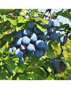 Pruimenboom op stam