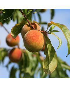 Perzikenboom