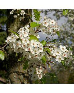Sierperenboom lei