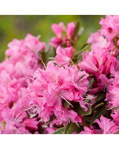 Japanse azalea