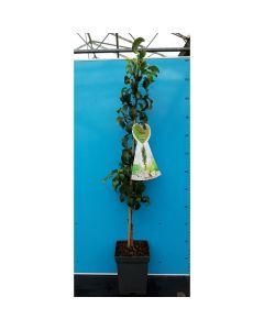 Perenboom zuilvorm